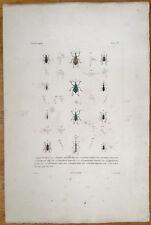 Voyage de la Coquille Rare Colored Insect Print Beetle (6) Large Folio - 1830