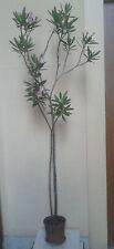 Pianta Oleandro - altezza 165 cm