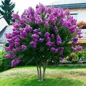 25+ JAPANESE TREE PURPLE LILAC SEEDS PERENNIAL POWERFUL LOVELY FRAGRANT  Syringa