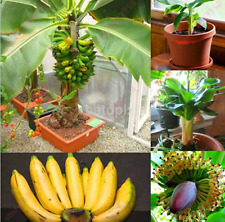 New 100Pcs Rare Dwarf Banana Tree Seeds Mini Bonsai Seed Home Garden Plants FR