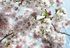 Wall Mural SPRING FLOWERS photo Wallpaper 368x254cm tree pink & white bedroom