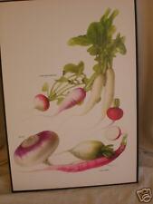 VINTAGE FOOD fruit vegetable herb PRINT turnip RADISH