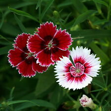 50pcs Chinese Pink Seeds Original Packaging Dianthus Chinensis Flower Seed
