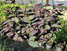 Purple heart Tradescantia pallida 'Pale puma' one rootless cutting