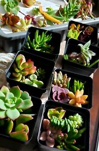 Succulent 30 Assorted Succulent Plant Cuttings