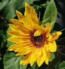 Die Sonnenblume Bienen, Insekten und Vögel lieben dies Blume - Futterquelle.