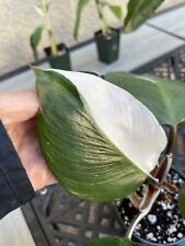 Philodendron White Knight in 4� pot (rare aroid)- Usps Insured