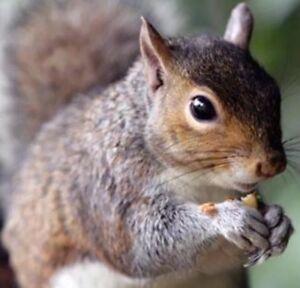 """This Stuff Really Works"" Squirrel Bait Poison 400+ Grams Bulk Pellets & Nut Mix"