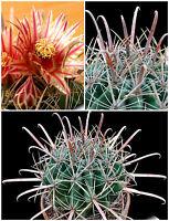 10 Samen der Ferocactus herrerae,Sukkulenten,seeds succulents G