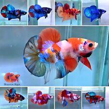 *CLEARANCE* Koi and Nemo Galaxy Halfmoon Plakat Live Male Betta Fish  Grade A+++