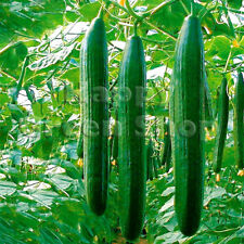 CUCUMBER - SATURN F1 - 5 SEEDS - 14 inches fruit - VEGETABLE SEEDS
