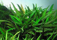 Cryptocoryne Lucens tropical aquarium 10 plants EU grown  shrimp safe