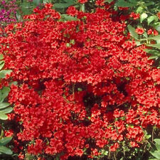 3 X AZALEA 'GEISHA RED' JAPANESE EVERGREEN SHRUB HARDY PLANT IN POT