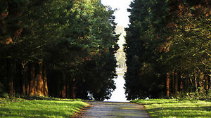 TAXUS BACCATA -BEAUTIFUL OLD ENGLISH YEW TREE  10 seeds