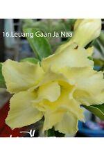 succulent desert rose plant,adenium No16 leuang gaan ja naa ,usa free shipping