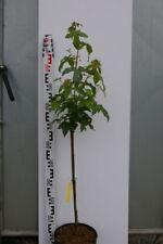 Liquidambar styraciflua Gumball - Zwerg-Kugelamberbaum