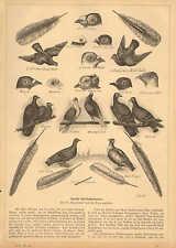 Prize German Carrier Pigeons, Homers, Birds, Vintage 1882 Antique Art Print