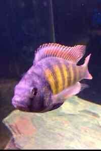 Thickskin Obliquidens (Haplochromis sp. 44) African Cichlid Lake Victoria
