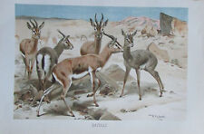 1893 GAZELLE alter Druck antique print Litho Brehms Tierleben