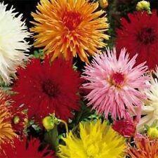 Dahlia Variabilis Cactus Mix- 25 seeds