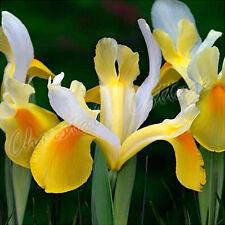 25 YELLOW DUTCH IRIS SYMPHONY AUTUMN GARDENING BULB CORM SPRING SUMMER FLOWER