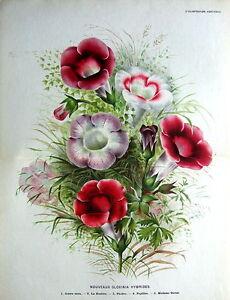 NOUVEAUX GLOXINA HYBRIDES, Linden Double Size Antique Botanical Print 1878