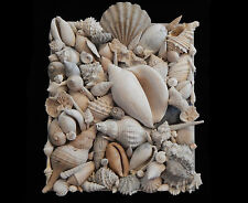 """COLLAGE OF ANCIENT FLORIDA FOSSIL SEASHELLS 13"""" x10 1/4"""" x 3"""" LOT#5333"""