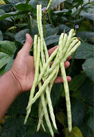 Dwarf Green Snake Bean - A Rare Bush Variety Yardlong, Bora, Chinese Long Bean