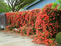 7 Live Vine Clippings RED TRUMPET VINE Start pack Perennial Hummingbird Organic