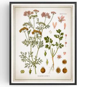 Coriander Botanical Print Herb Kitchen Decor Vintage Picture Art Poster Gift