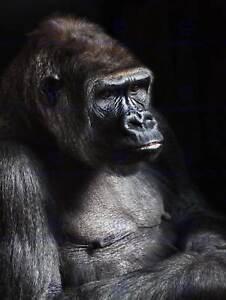 NATURE PHOTO GORILLA APE BLACK MONKEY COOL POSTER ART PRINT BB171B