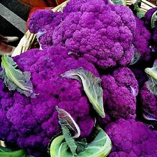 Cauliflower Purple Of Sicily Vegetable Seeds 100+ EASIER TO GROW THAN WHITE