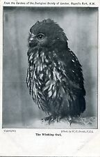 LONDON ZOO - WINKING OWL - OLD POSTCARD VIEW