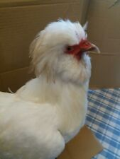 taxidermie, grand et rare coq sultan, oiseau naturalisé