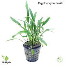 Cryptocoryne nevillii Live Aquarium Plants Tropical Aquascaping Tank Co2 nano EU