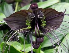 BAT FLOWER Tacca chantrieri, understorey/indoor black flowers plant in 140mm pot