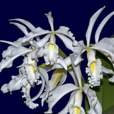 Cattleya maxima v. alba (C.H. #12 x Hsinying) species Orchid Plant