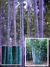 Die schönste Sukkulente : Blauer Riesen-Bambus  schnellwüchsig * Samen Zierbäume