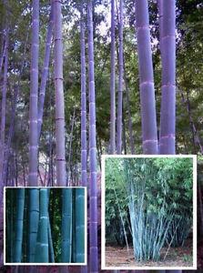 Blauer Riesen-Bambus  / Gartendeko Gartendekoration Deko für Ostern Duft / Samen