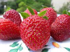 Strawberry PINK DREAM F1 Seeds large fruited red Ukraine 10 seeds Garden idea