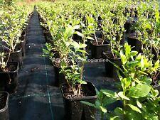 Piante di Goji di 2 anni - Lycium Barbarum *BIG Lifeberry ©*
