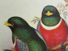 Vintage Gould Lithograph THOGON ELEGANS - Beautiful Vivid Colors !!!!
