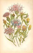 1860 Ca ANTIQUE BOTANICAL PRINT-ANNE PRATT-KNAP WEED,THISTLE,BLUE BOTTLE