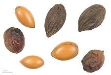 Argania spinosa - The Argan Nut Tree - 5 Seeds
