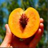Peach Tree Bonsai Plants Fruit Easy To Grow Free Shipping 2021 Rare 10 PCS Seeds