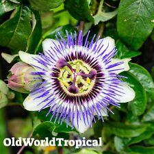 Purple Possum LIVE PLANT Passion Fruit Flower Passiflora Edulis