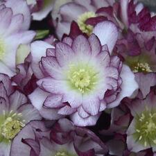 Helleborus Blushing Bridesmaid Rare Flowering Perennial Live Plant Stunning