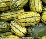 🔥  Zucchini DELICATA zartes Gemüse 6 Samen Kürbis gestreift SEHR SELTEN
