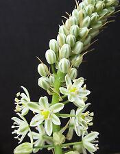 Ornithogalum caudatum, exotic rare bulb false sea Pregnant Onion seed 15 seeds