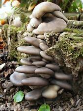 Oyster mycelium Mushroom sticks Pleurotus ostreatus - 20 sticks Ukraine S1202